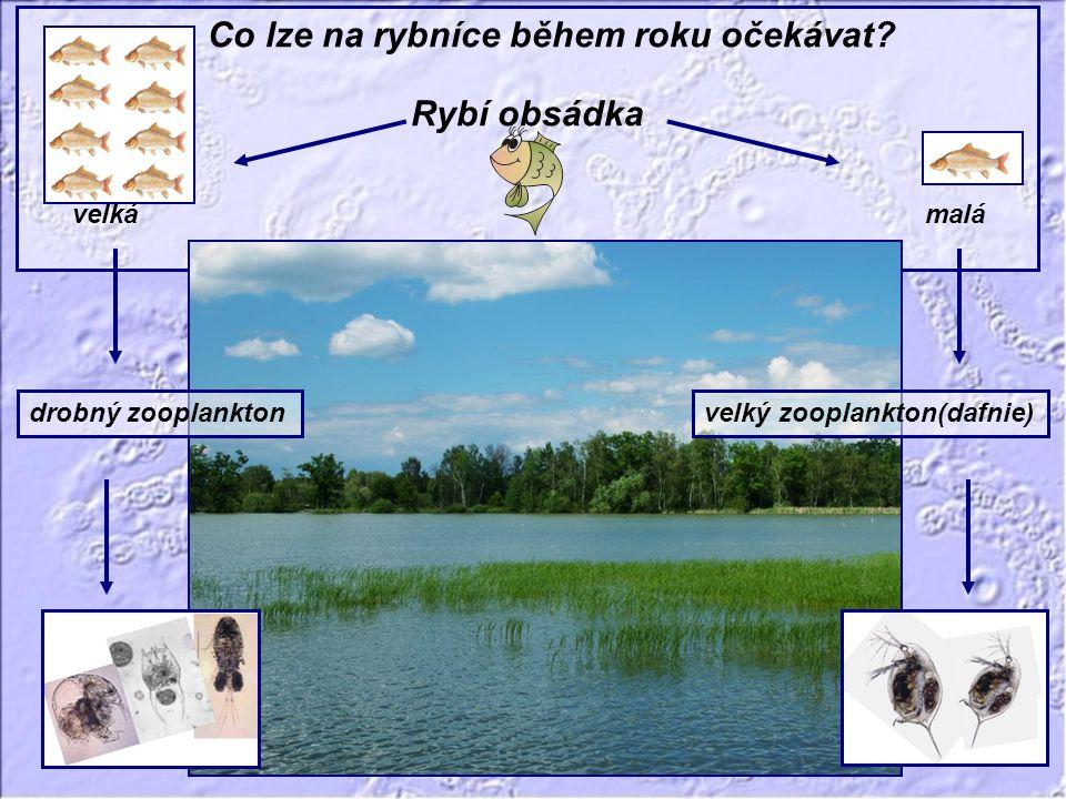 Fytoplankton Dusík Fosfor Čas (sezóna) Koncentrace biomasy a živin Fytoplankton Dusík Fosfor Čas (sezóna) Koncentrace biomasy a živin Co lze na rybníce během roku očekávat.