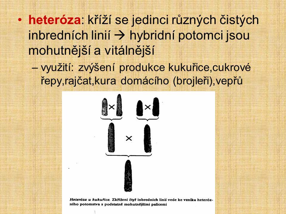 •heteróza: kříží se jedinci různých čistých inbredních linií  hybridní potomci jsou mohutnější a vitálnější –využití: zvýšení produkce kukuřice,cukrové řepy,rajčat,kura domácího (brojleři),vepřů