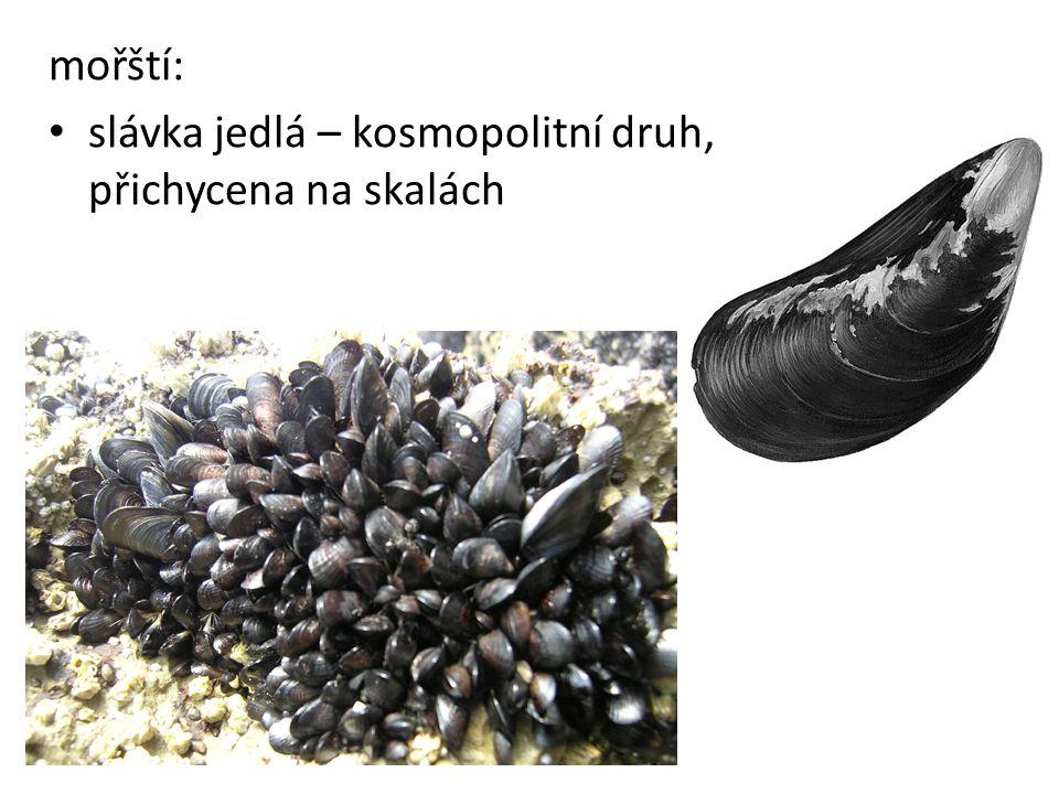 mořští: • slávka jedlá – kosmopolitní druh, přichycena na skalách