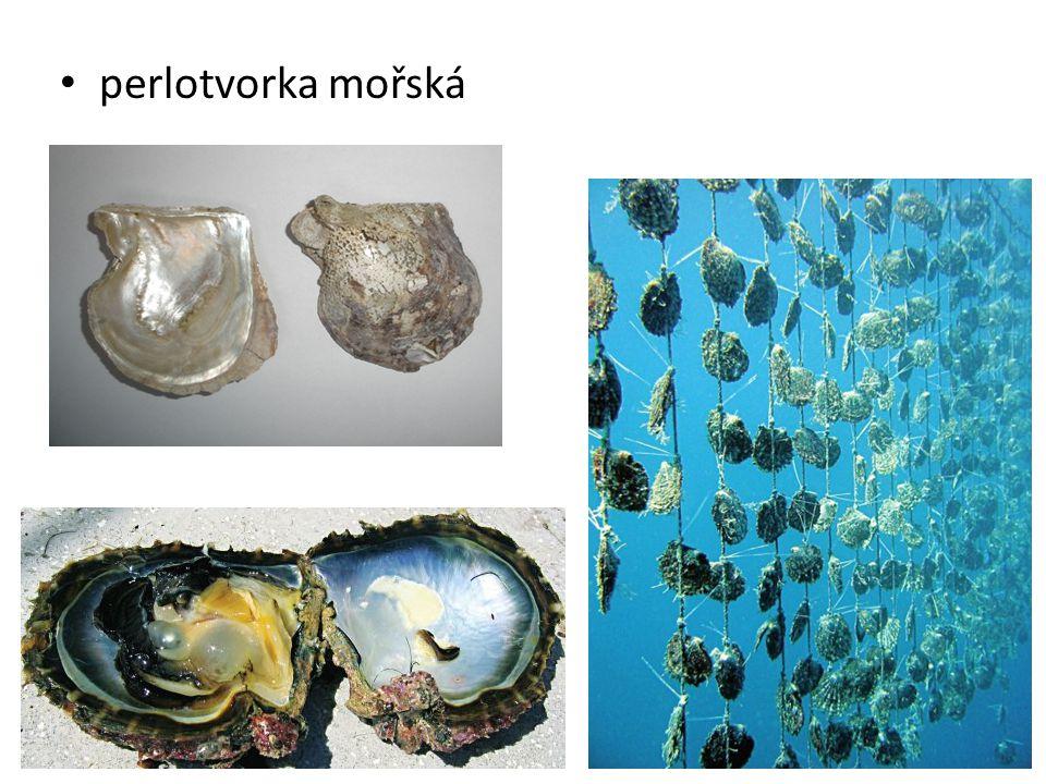 • perlotvorka mořská