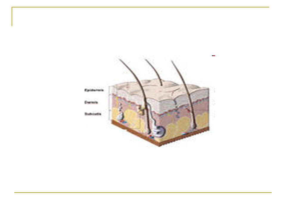 ANF:  kůže je největší orgán lidského těla s povrchem do 2 m 2, tvoří 5–9 % tělesné hmotnosti, je složena ze tří hlavních částí: epidermis, corium (dermis) a tela subcutanea (subcutis)  epidermis (pokožka) průměrná tloušťka: 0,3–1,5 mm spodní hranice – jsou do ní výběžky koria – papily zrání buněk od bazální vrstvy k povrchu trvá cca 28 dní (na hlavě asi 14 dní)