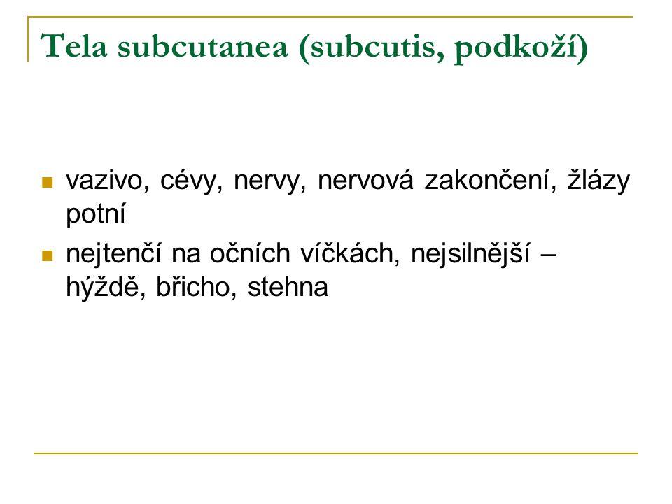 Tela subcutanea (subcutis, podkoží)  vazivo, cévy, nervy, nervová zakončení, žlázy potní  nejtenčí na očních víčkách, nejsilnější – hýždě, břicho, s