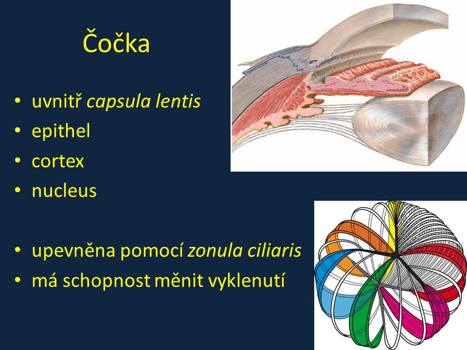 Čočka • uvnitř capsula lentis • epithel • cortex • nucleus • upevněna pomocí zonula ciliaris • má schopnost měnit vyklenutí