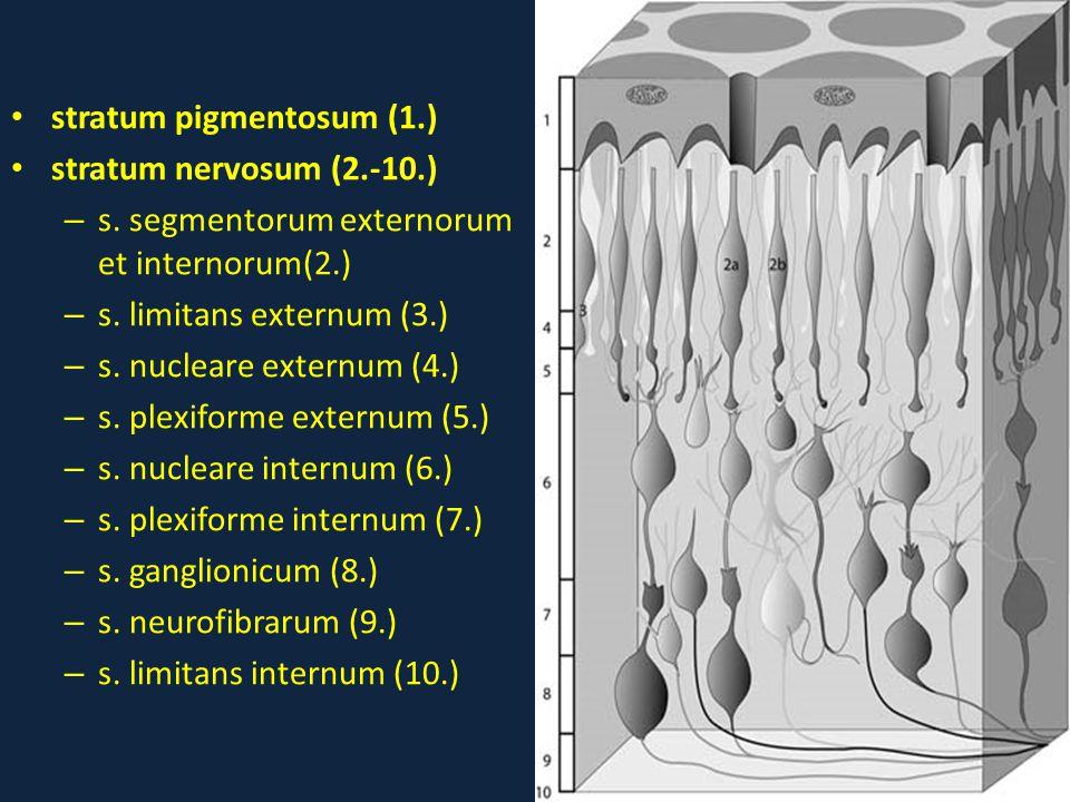 • stratum pigmentosum (1.) • stratum nervosum (2.-10.) – s. segmentorum externorum et internorum(2.) – s. limitans externum (3.) – s. nucleare externu