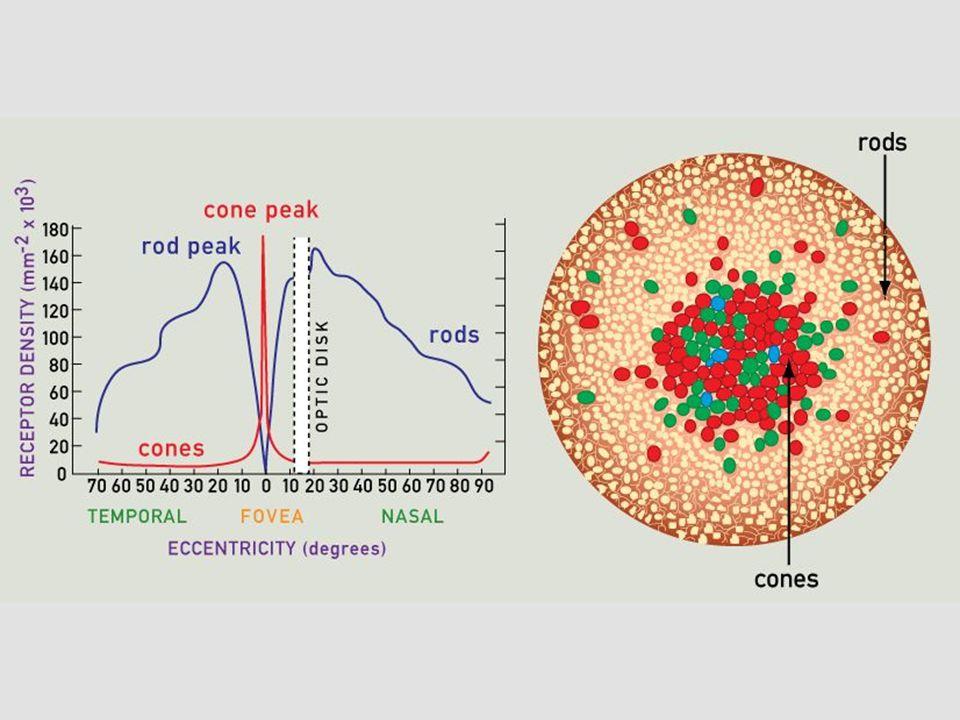 Tunica interna (nervosa) • TYČINKY • černobílé vidění • uplatnění za šera • rhodopsin • 120 milionů • nejvíce v periferii  ČÍPKY  barevné vidění  nutný dostatek světla  iodopsin  6 - 7 milionů  nejvíce v macula lutea