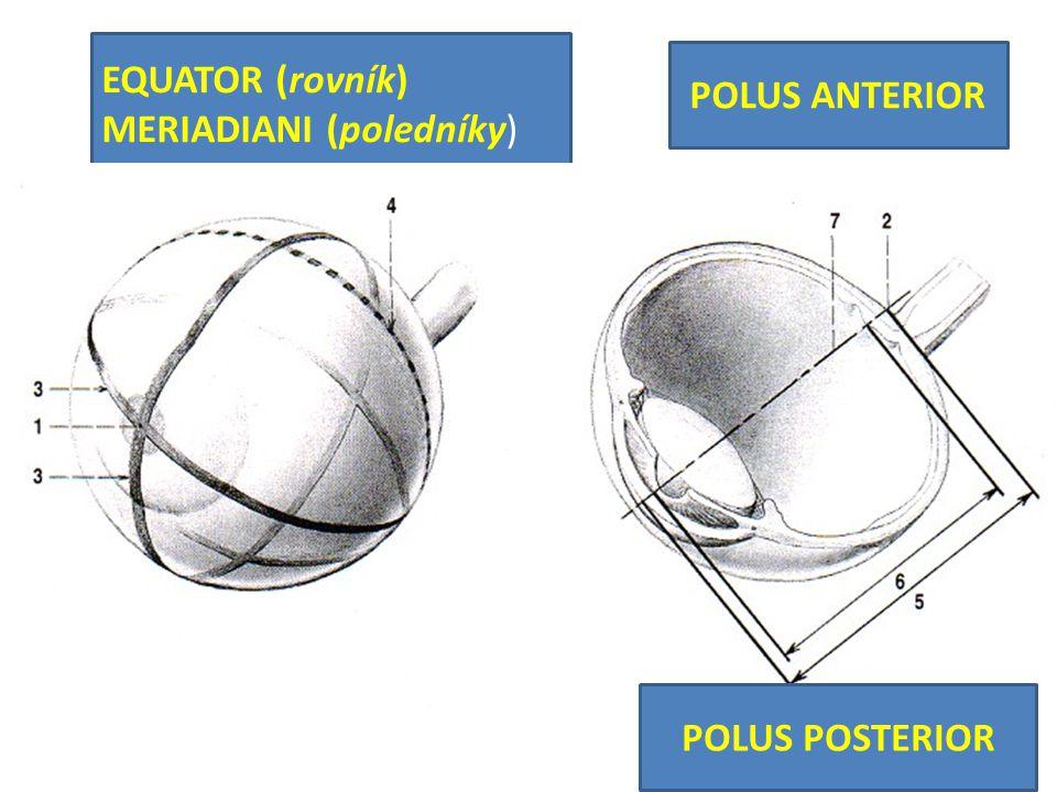 POLUS ANTERIOR EQUATOR (rovník) MERIADIANI (poledníky) POLUS POSTERIOR