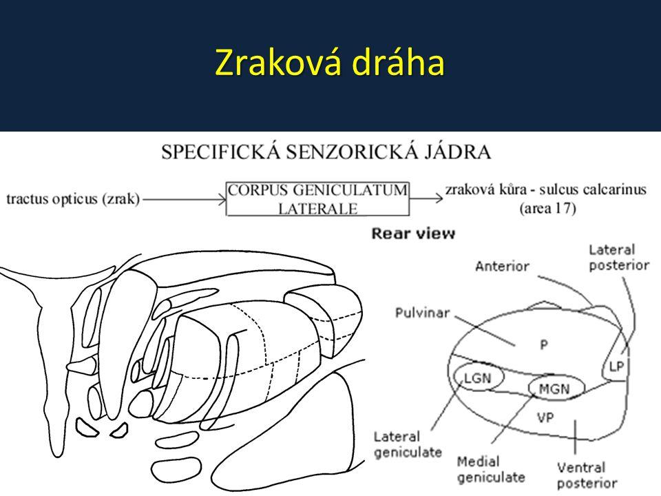 Korová projekce – primární – area 17, kolem sulcus calcarinus • nad s.