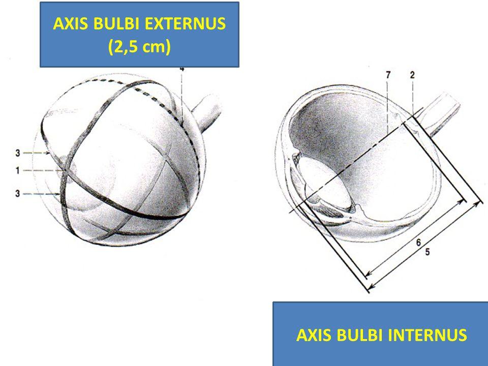 AXIS BULBI EXTERNUS (2,5 cm) AXIS BULBI INTERNUS