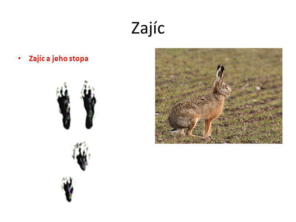 Zajíc • Zajíc a jeho stopa