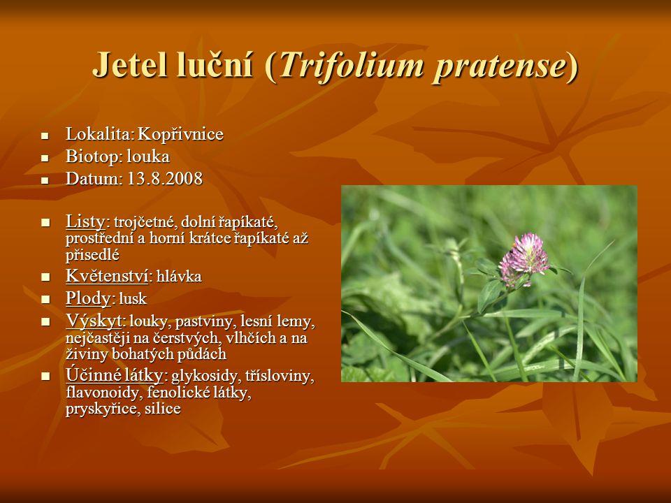 Jetel luční (Trifolium pratense)  Lokalita: Kopřivnice  Biotop: louka  Datum: 13.8.2008  Listy: trojčetné, dolní řapíkaté, prostřední a horní krát