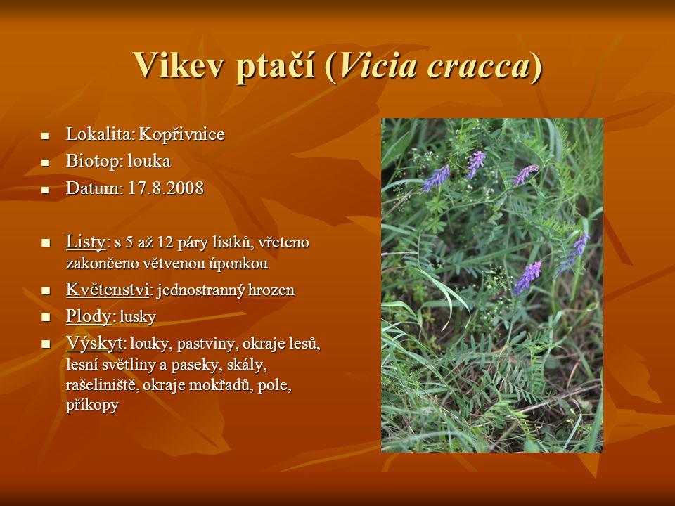 Vikev ptačí (Vicia cracca)  Lokalita: Kopřivnice  Biotop: louka  Datum: 17.8.2008  Listy: s 5 až 12 páry lístků, vřeteno zakončeno větvenou úponko
