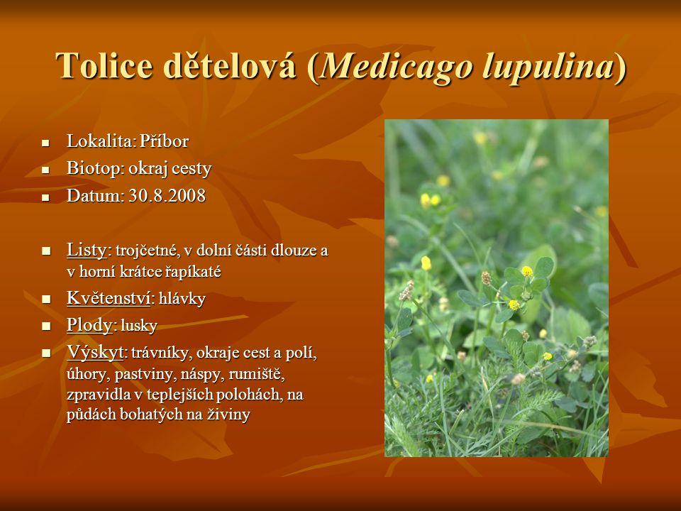 Tolice dětelová (Medicago lupulina)  Lokalita: Příbor  Biotop: okraj cesty  Datum: 30.8.2008  Listy: trojčetné, v dolní části dlouze a v horní krá