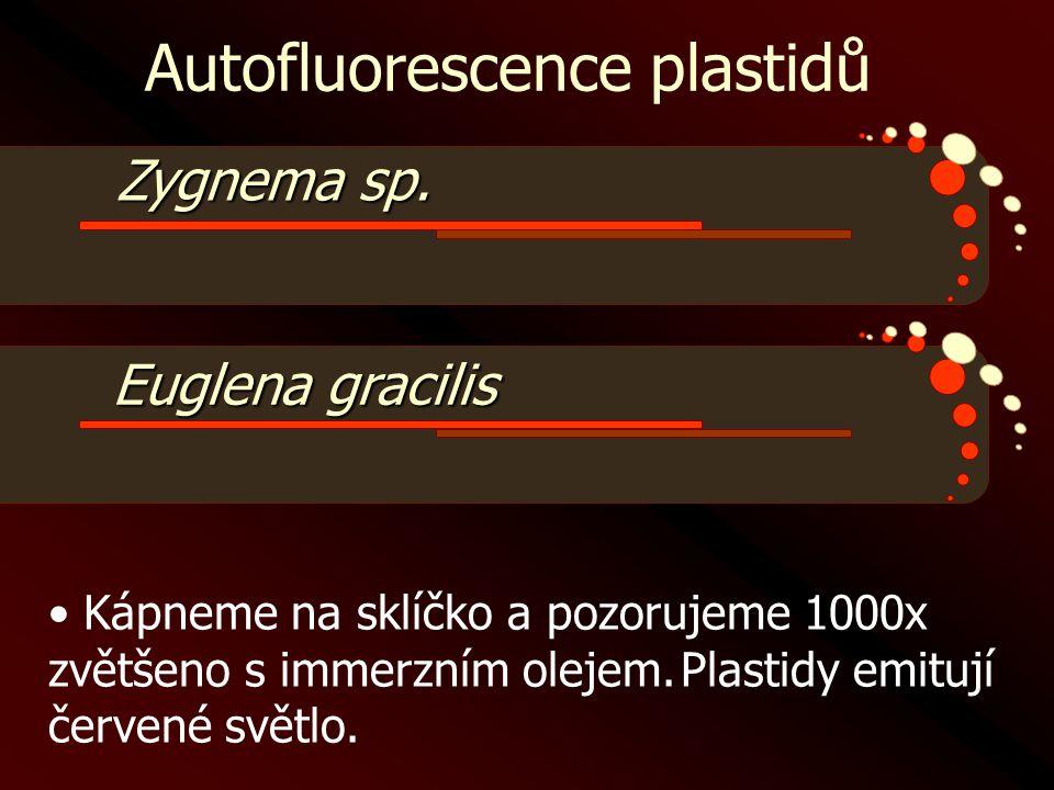 Autofluorescence plastidů Zygnema sp. • Kápneme na sklíčko a pozorujeme 1000x zvětšeno s immerzním olejem.Plastidy emitují červené světlo. Euglena gra