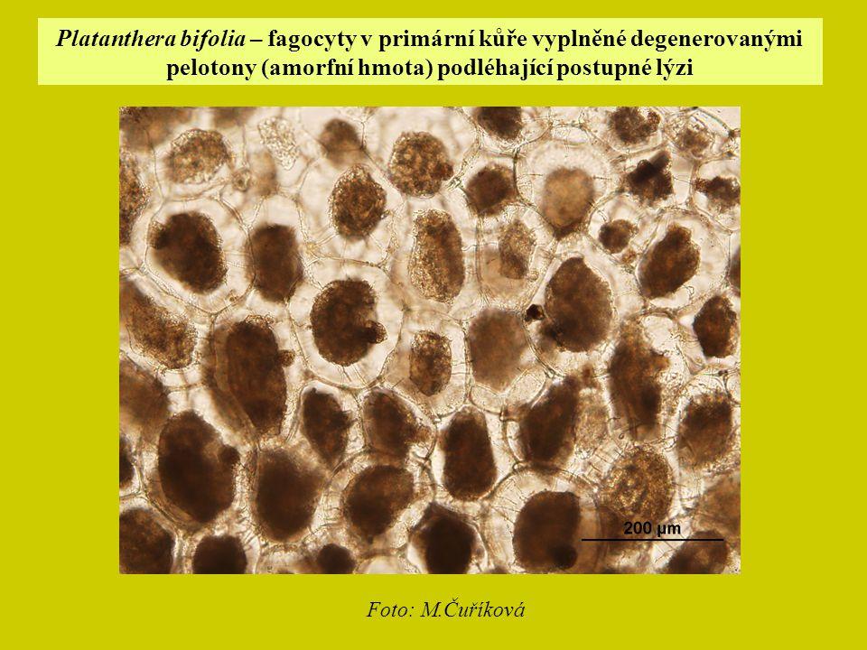 Platanthera bifolia – fagocyty v primární kůře vyplněné degenerovanými pelotony (amorfní hmota) podléhající postupné lýzi Foto: M.Čuříková