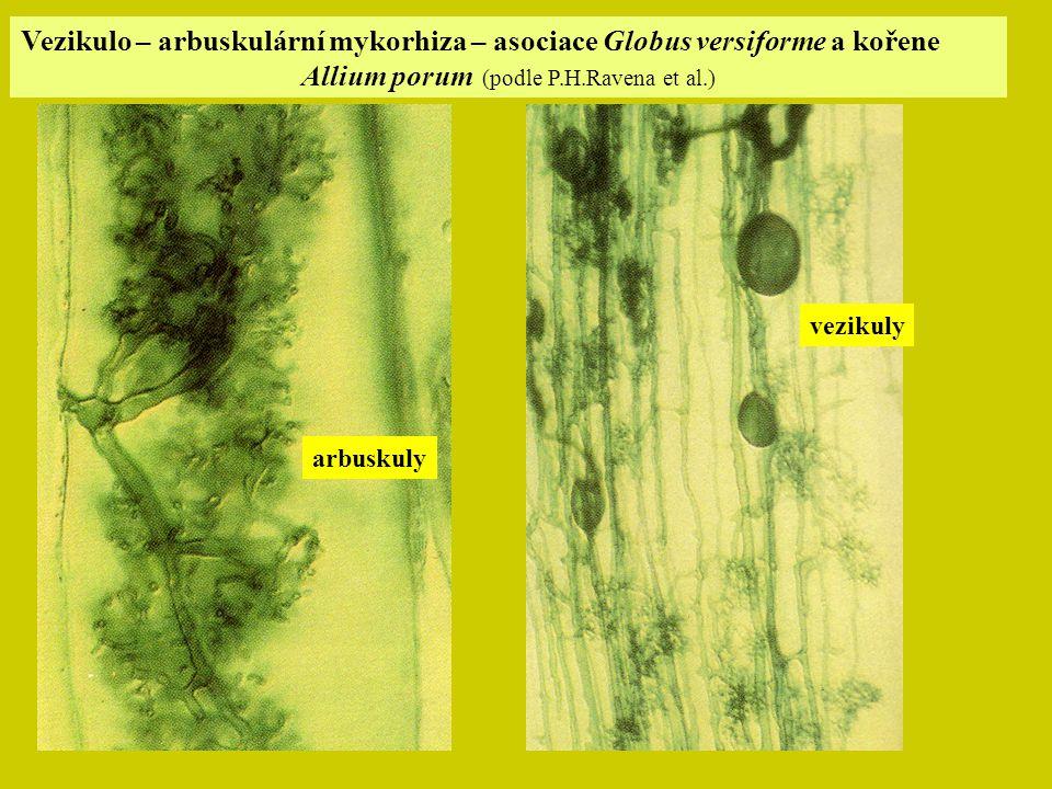 Vezikulo – arbuskulární mykorhiza – asociace Globus versiforme a kořene Allium porum (podle P.H.Ravena et al.) arbuskuly vezikuly