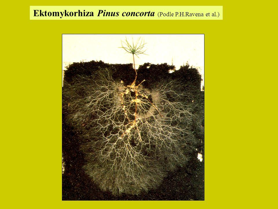 Ektomykorhiza Pinus concorta (Podle P.H.Ravena et al.)