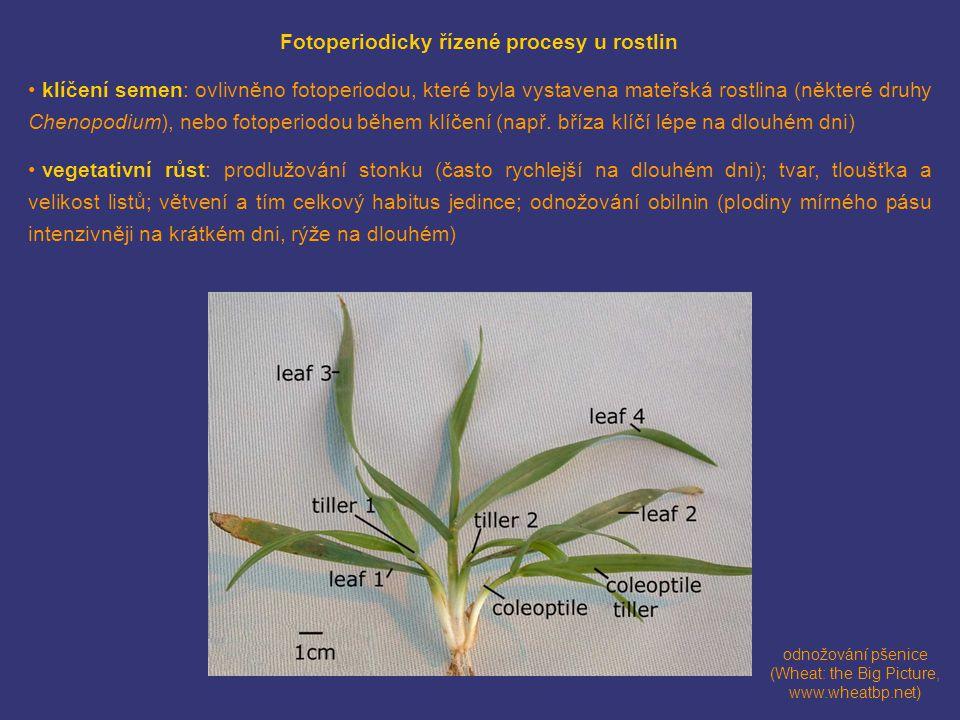 Fotoperiodicky řízené procesy u rostlin • klíčení semen: ovlivněno fotoperiodou, které byla vystavena mateřská rostlina (některé druhy Chenopodium), nebo fotoperiodou během klíčení (např.