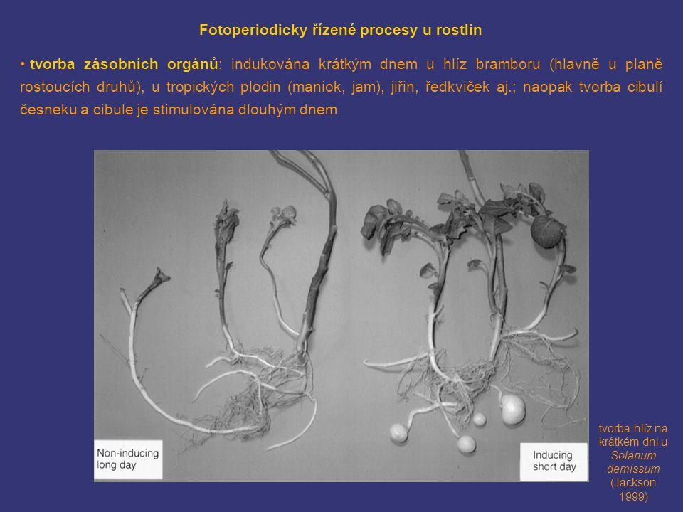 tvorba hlíz na krátkém dni u Solanum demissum (Jackson 1999) Fotoperiodicky řízené procesy u rostlin • tvorba zásobních orgánů: indukována krátkým dnem u hlíz bramboru (hlavně u planě rostoucích druhů), u tropických plodin (maniok, jam), jiřin, ředkviček aj.; naopak tvorba cibulí česneku a cibule je stimulována dlouhým dnem