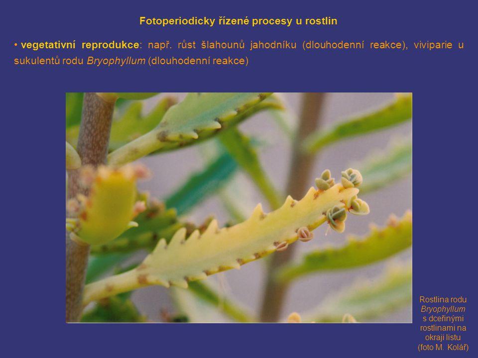 Rostlina rodu Bryophyllum s dceřinými rostlinami na okraji listu (foto M. Kolář) Fotoperiodicky řízené procesy u rostlin • vegetativní reprodukce: nap