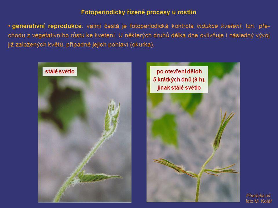 Pharbitis nil, foto M. Kolář Fotoperiodicky řízené procesy u rostlin • generativní reprodukce: velmi častá je fotoperiodická kontrola indukce kvetení,