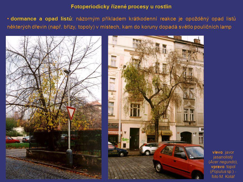 vlevo: javor jasanolistý (Acer negundo), vpravo: topol (Populus sp.) - foto M. Kolář Fotoperiodicky řízené procesy u rostlin • dormance a opad listů: