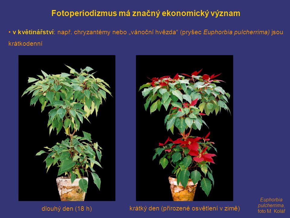 """Fotoperiodizmus má značný ekonomický význam • v květinářství: např. chryzantémy nebo """"vánoční hvězda"""" (pryšec Euphorbia pulcherrima) jsou krátkodenní"""