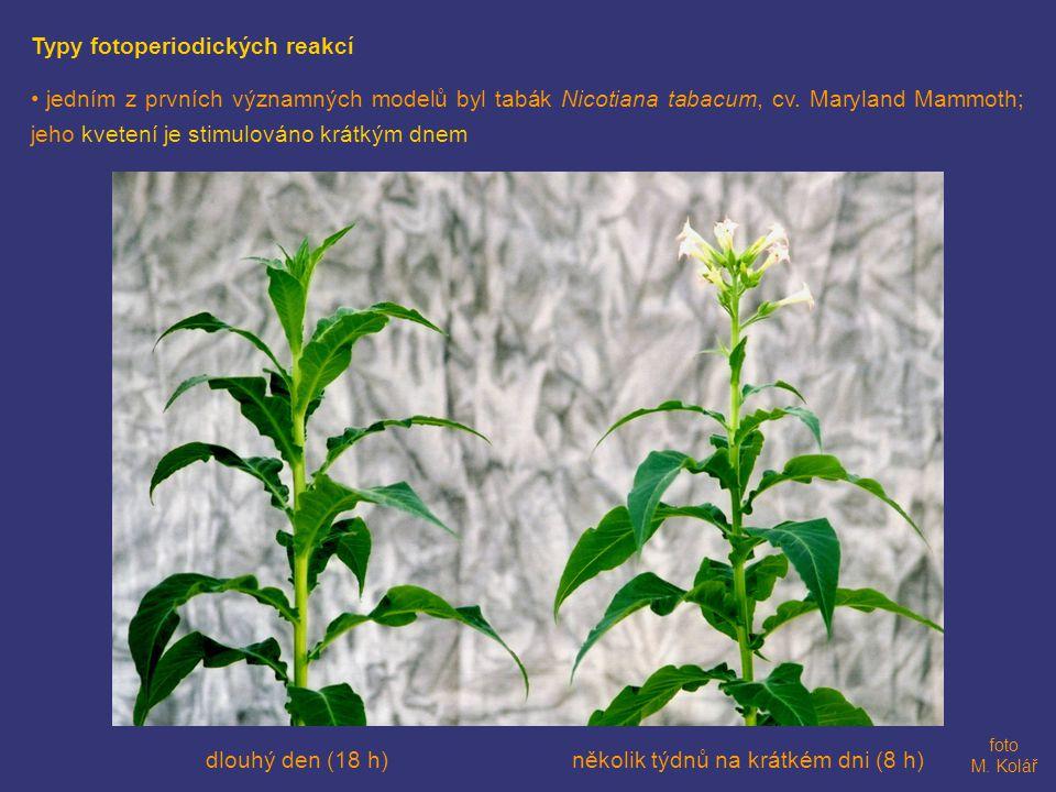 Typy fotoperiodických reakcí • jedním z prvních významných modelů byl tabák Nicotiana tabacum, cv.