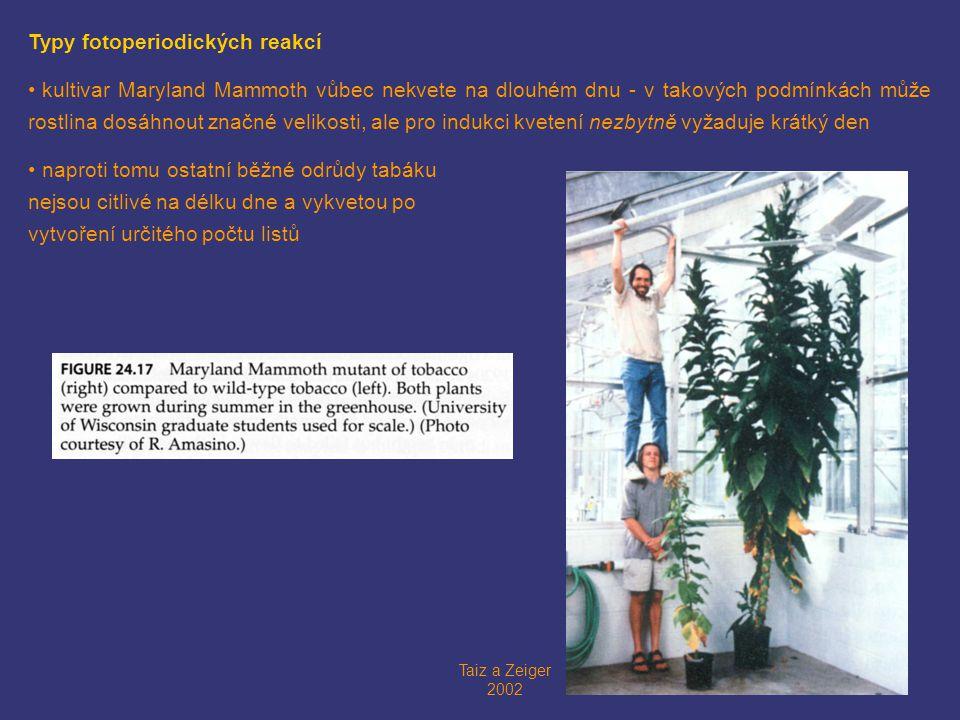 Taiz a Zeiger 2002 Typy fotoperiodických reakcí • kultivar Maryland Mammoth vůbec nekvete na dlouhém dnu - v takových podmínkách může rostlina dosáhnout značné velikosti, ale pro indukci kvetení nezbytně vyžaduje krátký den • naproti tomu ostatní běžné odrůdy tabáku nejsou citlivé na délku dne a vykvetou po vytvoření určitého počtu listů