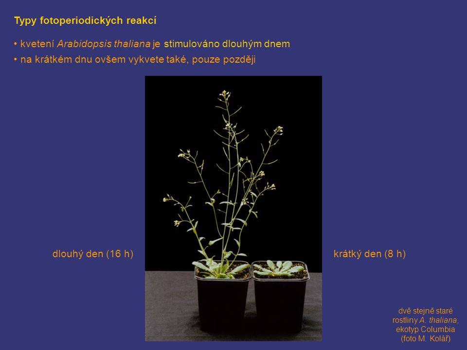 dvě stejně staré rostliny A. thaliana, ekotyp Columbia (foto M. Kolář) krátký den (8 h)dlouhý den (16 h) Typy fotoperiodických reakcí • kvetení Arabid