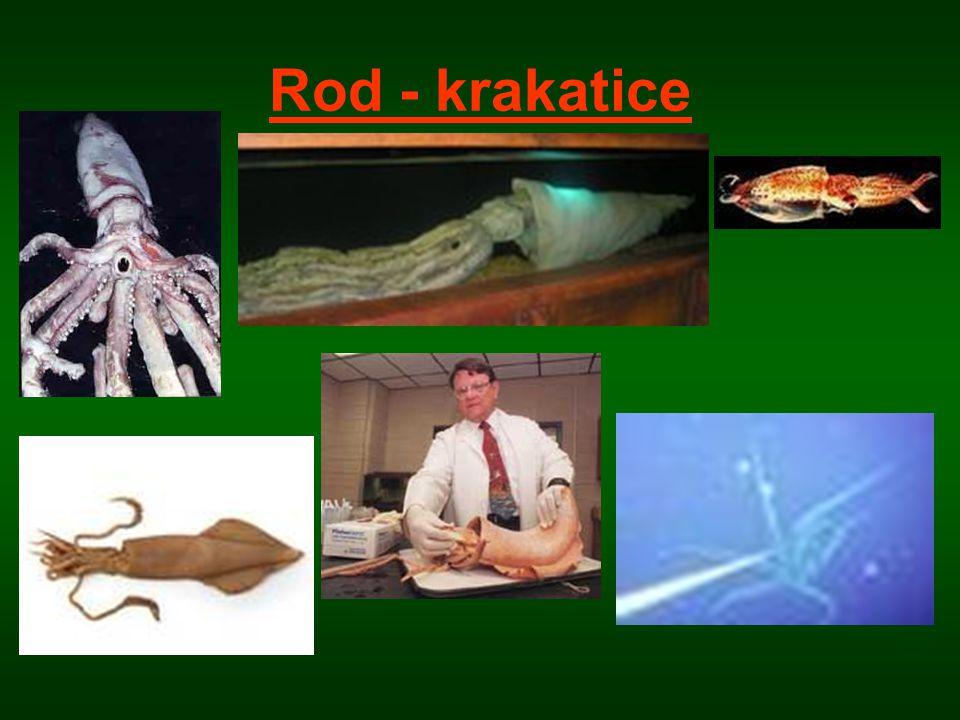 Rod - krakatice