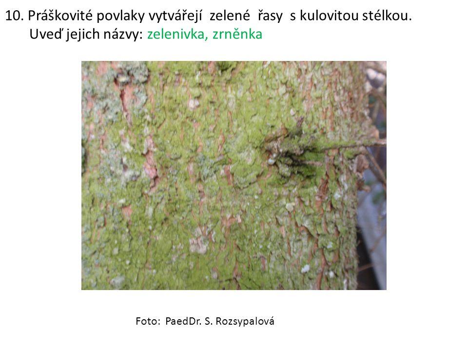 10. Práškovité povlaky vytvářejí zelené řasy s kulovitou stélkou. Uveď jejich názvy: zelenivka, zrněnka Foto: PaedDr. S. Rozsypalová