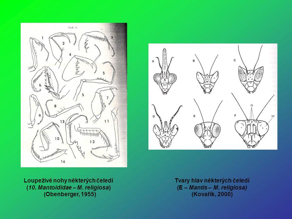 Loupeživé nohy některých čeledí (10. Mantoididae – M. religiosa) (Obenberger, 1955) Tvary hlav některých čeledí (E – Mantis – M. religiosa) (Kovařík,