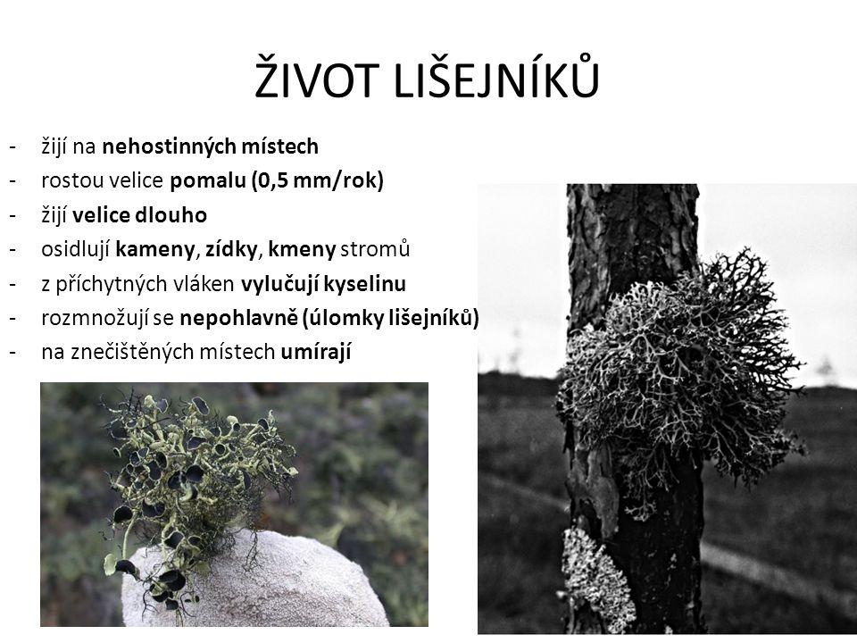 ŽIVOT LIŠEJNÍKŮ -žijí na nehostinných místech -rostou velice pomalu (0,5 mm/rok) -žijí velice dlouho -osidlují kameny, zídky, kmeny stromů -z příchytn