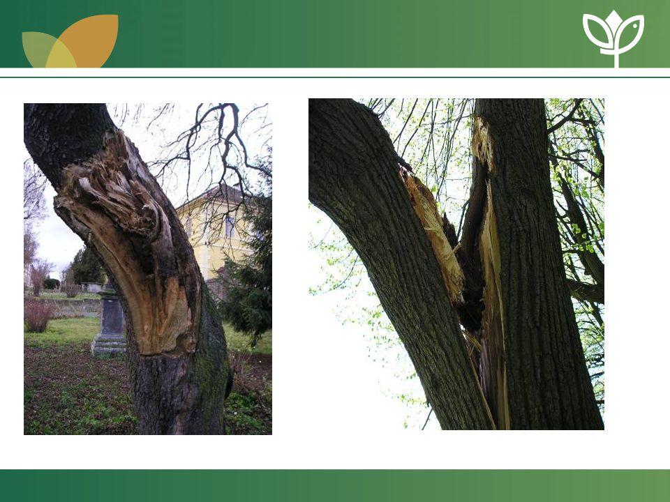 Standardy v oboru arboristika •volně ke stažení na www.standardy.nature.czwww.standardy.nature.cz •již schválené znění standardu A 02 002 Řez stromů •připravuje se A 01 001 Výsadba stromů A 00 001 Názvosloví A 01 001 Hodnocení stavu stromů A 01 002 Ochrana stromů před stavební činností A 02 005 Kácení stromů •dále pak např.