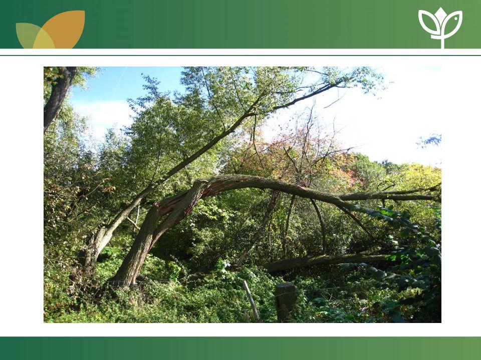 Posuzování dřevin a nejzranitelnější místa stromu •vizuální posouzení – pouze na základě shlédnutí dřeviny na stanovišti ( k dispozici pouze metr, výškoměr, znalosti, zkušenosti ) - nutné získat co nejvíce informaci o dřevině a stanovišti ( např.