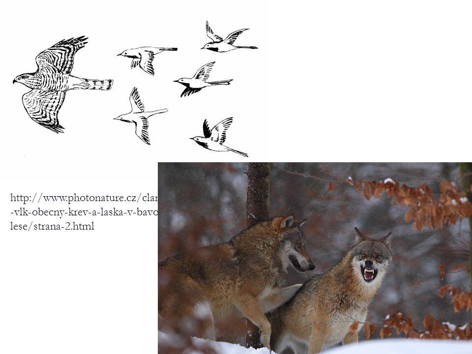 http://www.photonature.cz/clanky/priroda/141 -vlk-obecny-krev-a-laska-v-bavorskem- lese/strana-2.html