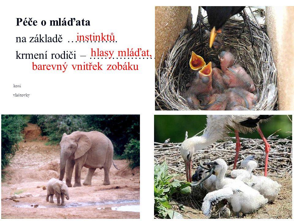Péče o mláďata na základě ………….. krmení rodiči – ……………… kosi vlaštovky instinktů hlasy mláďat, barevný vnitřek zobáku