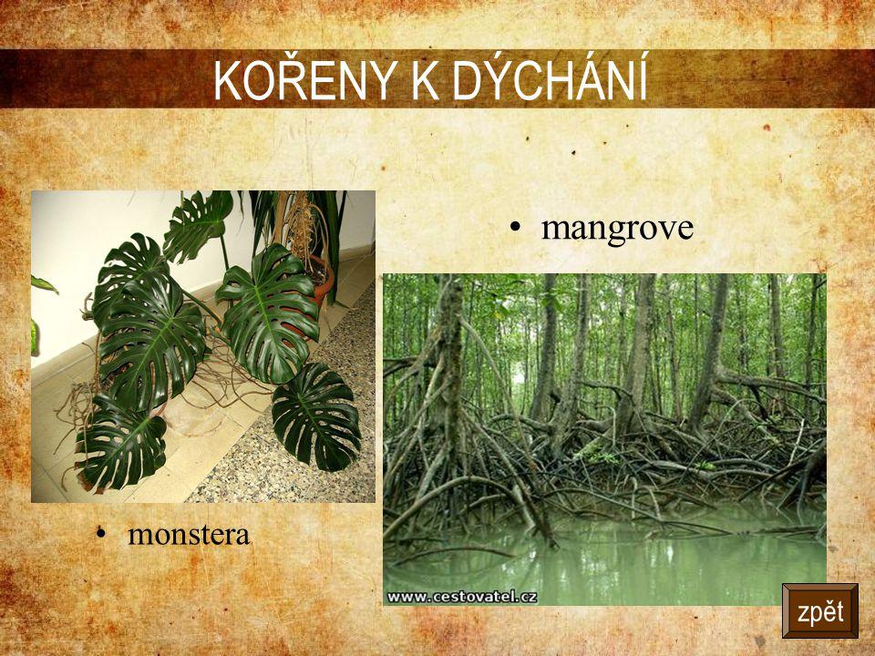 KOŘENY K DÝCHÁNÍ •monstera •mangrove zpět