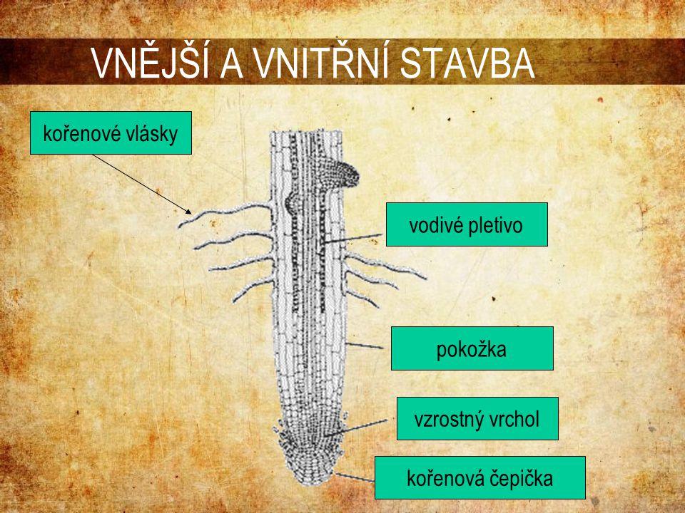 VNĚJŠÍ A VNITŘNÍ STAVBA vzrostný vrchol kořenová čepička vodivé pletivo pokožka kořenové vlásky