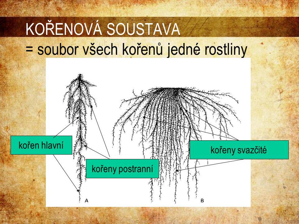 KOŘENOVÁ SOUSTAVA = soubor všech kořenů jedné rostliny kořeny svazčité kořen hlavní kořeny postranní
