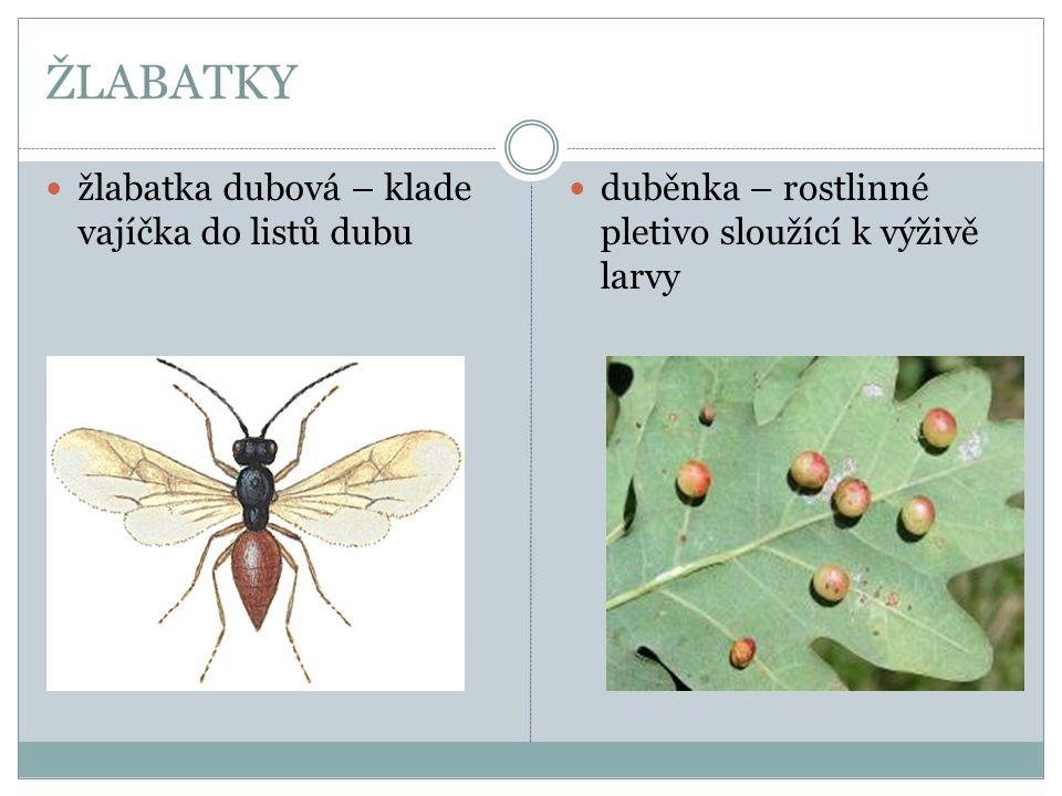 ŽLABATKY  žlabatka dubová – klade vajíčka do listů dubu  duběnka – rostlinné pletivo sloužící k výživě larvy