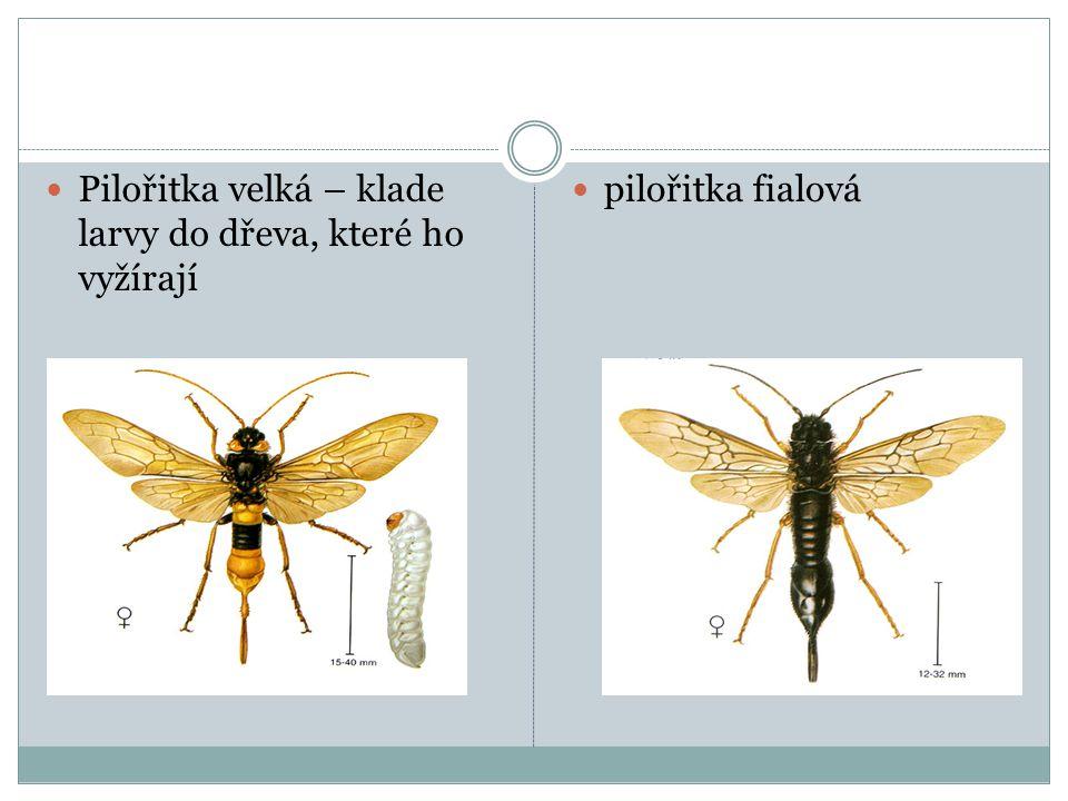  Pilořitka velká – klade larvy do dřeva, které ho vyžírají  pilořitka fialová