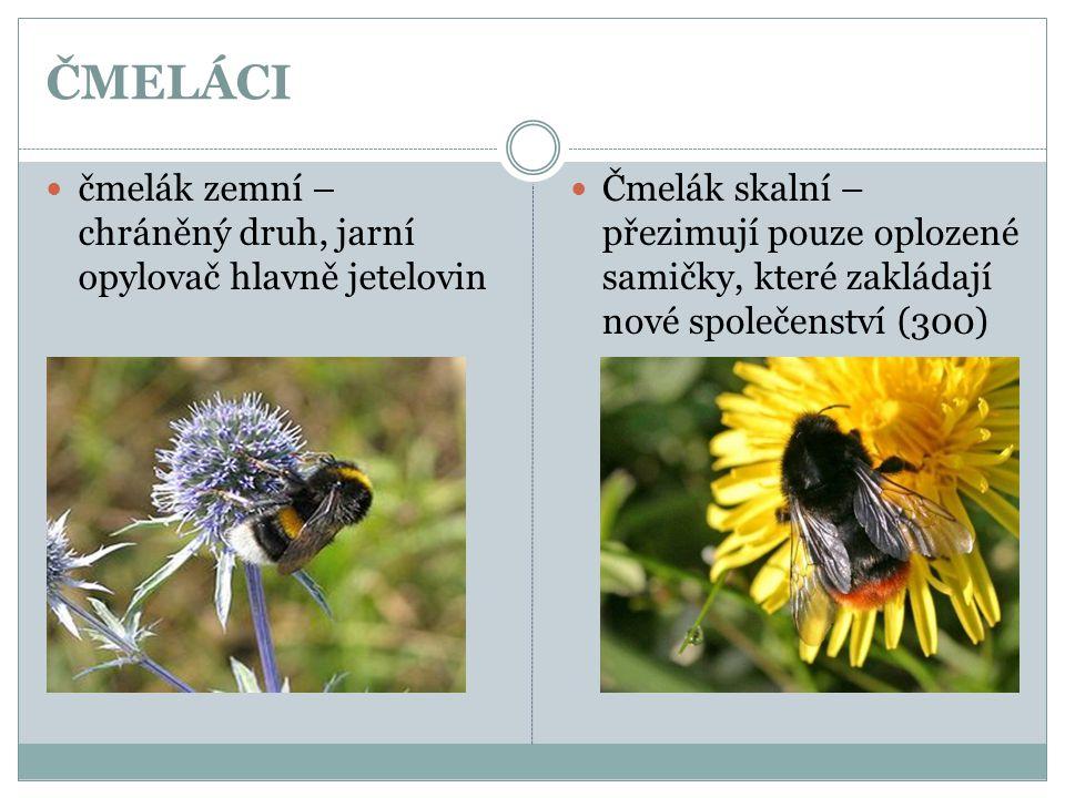 ČMELÁCI  čmelák zemní – chráněný druh, jarní opylovač hlavně jetelovin  Čmelák skalní – přezimují pouze oplozené samičky, které zakládají nové spole