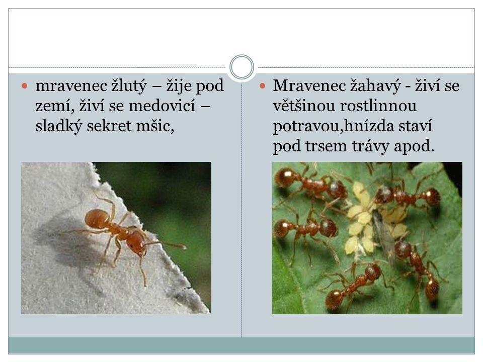  mravenec žlutý – žije pod zemí, živí se medovicí – sladký sekret mšic,  Mravenec žahavý - živí se většinou rostlinnou potravou,hnízda staví pod trs