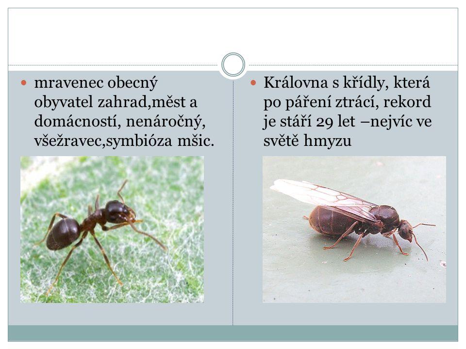  mravenec obecný obyvatel zahrad,měst a domácností, nenáročný, všežravec,symbióza mšic.  Královna s křídly, která po páření ztrácí, rekord je stáří
