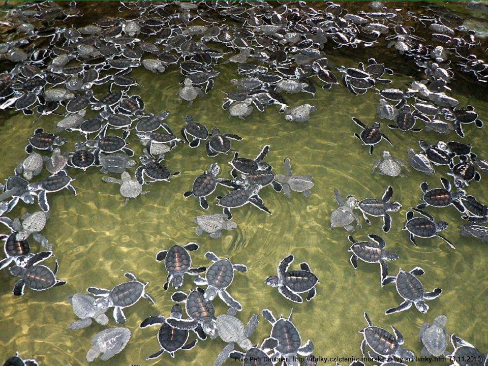 Nejvíce nakladených vajec •Samice karety pravé drží absolutní želví rekord ve snůšce vajec. •Jedna samice na ostrově Cousin na Seychellách snesla v je