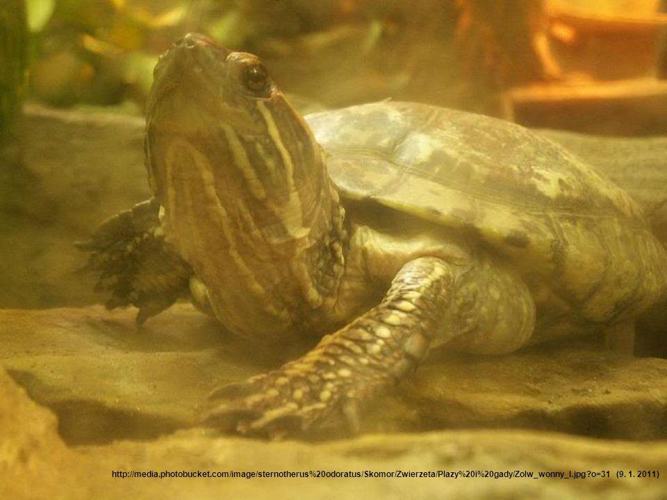 Nejmenší želva •Nejmenším druhem želvy je želva klapavka smrdutá. •V dospělosti má délku krunýře jen 7,62 cm a váží 227 g. http://media.photobucket.co