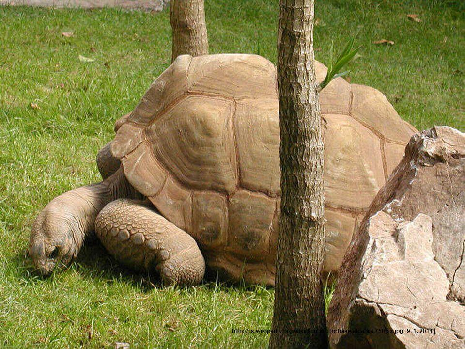Nejpomalejší želva •Při testu s želvou Gopherus agassizii byla naměřena rychlost 0,22-0,48 km/h. •Podobné testy byly prováděny s želvou obrovskou. •Uk