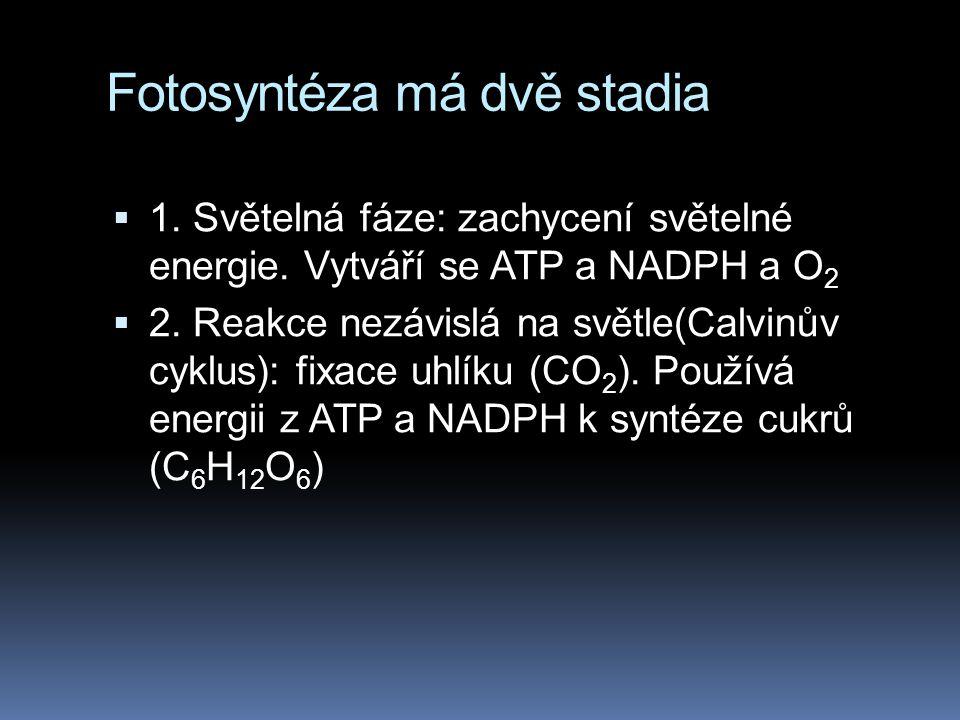 Fotosyntéza má dvě stadia  1.Světelná fáze: zachycení světelné energie.