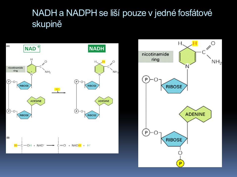 NADH a NADPH se liší pouze v jedné fosfátové skupině zde NADPH NADH